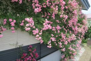 バラの一株が外壁に立ち昇る様子は圧巻。