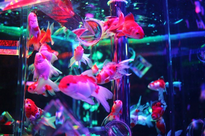 【人気イベント「アートアクアリウム」でオリジナルカクテル】幻想的な金魚の舞いをアテに粋なひとときを(大阪レポ&東京・金沢で開催中)
